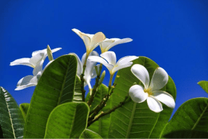 Cook Islands Flowers